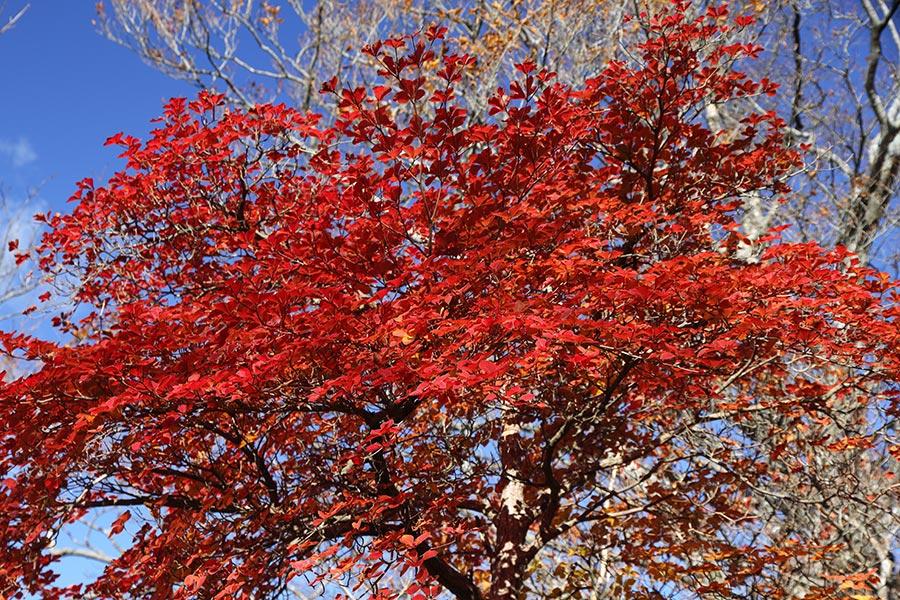 シロヤシオの紅葉